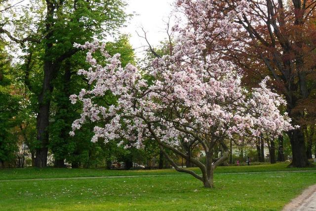 A2-Magnolia
