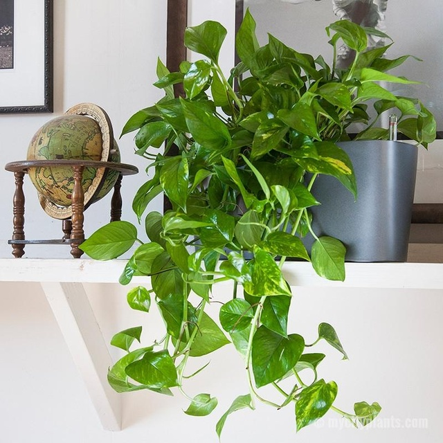 A5-heartleaf-philodendron